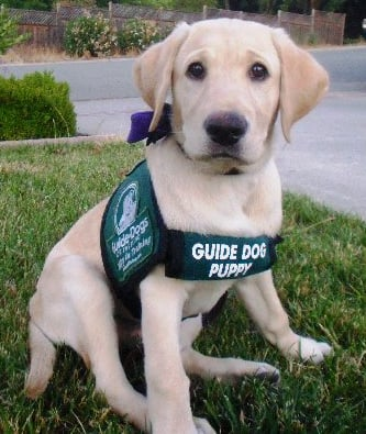 Guide Dog Puppy Training Scotland